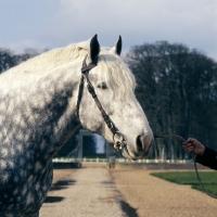 Picture of espoir, percheron stallion at haras du pin