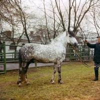 Picture of Estonian Klepper stallion
