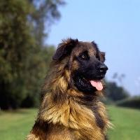 Picture of estrela mountain dog head portrait, uk breed record holder