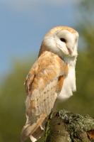 Picture of european barn owl (tyto Alba)