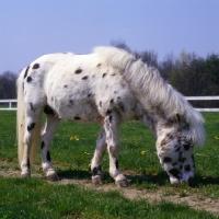 Picture of Falabella grazing