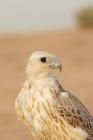 Picture of Falcon portrait