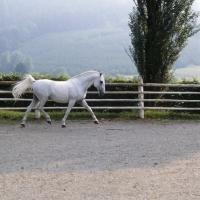 Picture of Favory Dubovina, Lipizzaner stallion at piber