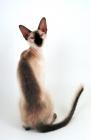Picture of female Peterbald cat