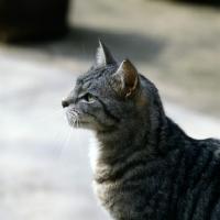 Picture of feral x cat, ben,  portrait