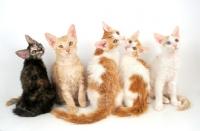 Picture of five La Perm kittens