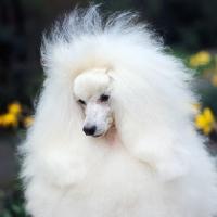 Picture of fluffy miniature poodle, portrait