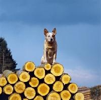 Picture of formakin brolga, australian cattle dog on logs