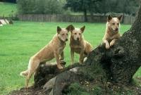 Picture of formakin kulta,  aust ch landmaster darling red, dutch ch formakin boomer, , australian cattle dogs beside tree