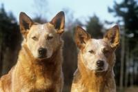Picture of formakin kulta, formakin brolga, australian cattle dogs, portrait