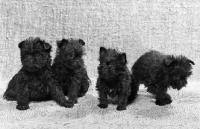 Picture of four affenpinscher puppies