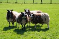 Picture of four bonte Texel sheep, (aka Texelaar)