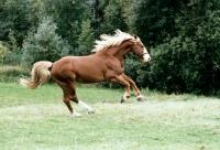 Picture of fredericksborg stallion cantering in denmark