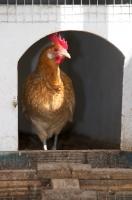 Picture of Friesian hen (Friese Hoen), in chicken coop