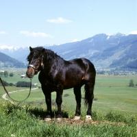 Picture of Frohn-Vulkan X11/1445, noric stallion in austria