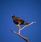 Picture of galapagos hawk on fernandina island, galapagos islands