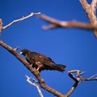 Picture of galapagos hawk spotting prey, punta espinosa, galapagos islands
