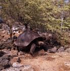 Picture of galapagos tortoise at darwin station, santa cruz island galapagos