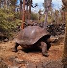 Picture of galapagos tortoise at the darwin station, santa cruz island galapagos