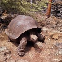 Picture of galapagos tortoise at the darwin station, santa cruz island, galapagos