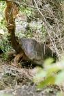 Picture of galapagos tortoise at the darwin station, santa cruz, galapagos