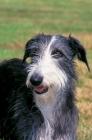 Picture of Galgo Espanol - Spanish sighthound