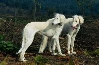 Picture of geldara amrita, geldara oberon, pair of salukis looking over their shoulder