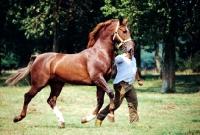 Picture of gelderland stallion running with a man
