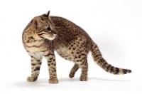 Picture of Geoffroy's cat walking in studio, Golden Spotted Tabby