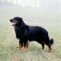 Picture of ger ch asko vom brunnenhof, hovawart standing in a misty field
