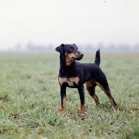 Picture of ger ch ethel vom alderhorst,  german hunt terrier standing in misty filed