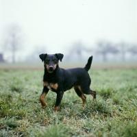Picture of ger ch ethel vom alderhorst, german hunt terrier side view walking