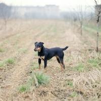 Picture of ger ch ethel vom alderhorst, german hunt terrier in field in germany