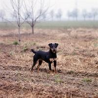 Picture of ger ch ethel vom alderhorst, german hunt terrier in field
