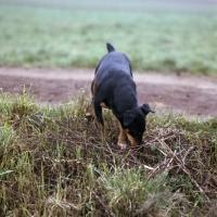 Picture of ger ch ethel vom alderhorst, german hunt terrier