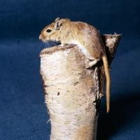 Picture of gerbil, agouti colour, climbing up a log