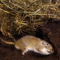 Picture of gerbil, agouti colour, digging in peat