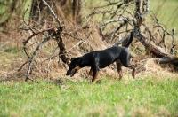 Picture of German Hunt Terrier (aka deutscher jagd terrier)