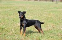 Picture of German Hunt Terrier (aka deutscher jagd terrier), side view