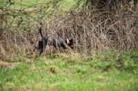 Picture of German Hunt Terrier (aka deutscher jagd terrier) on a hunt