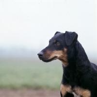 Picture of german hunt terrier, ethel vom alderhorst, portrait