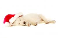 Picture of German Shepherd (aka Alsatian) puppy laid asleep wearing a Christmas hat