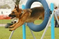 Picture of German Shepherd Dog (Alsatian) jumping through ring