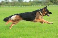 Picture of German Shepherd Dog (Alsatian), running