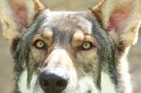 Picture of German Shepherd Dog (Alsatian)