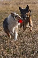 Picture of German Shepherd Dog chasing Australian Shepherd