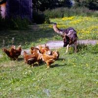Picture of german shepherd dog herding hens