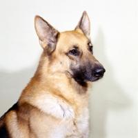 Picture of german shepherd portrait