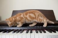 Picture of ginger kitten walking across piano keys