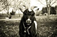 Picture of goat portrait